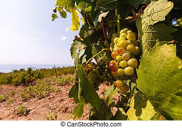 uvas, viñas, plano de fondo, mar, ramo