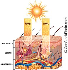 UVB and UVA radiation penetrate into skin. Detailed skin...