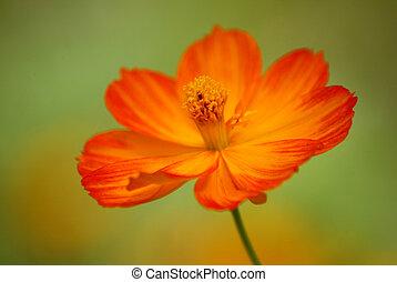 uzavřít, květ, up, zbabělý, názor