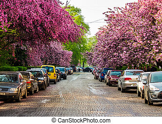 streets of Uzhgorod in cherry blossom - Uzhgorod, Ukraine -...