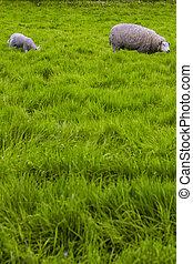 uzrát, sheep, s, maličký, jehně, pasturing, dále, mladický drn, venku