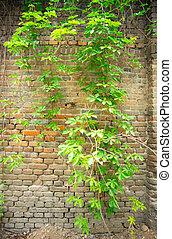vägg, tegelsten, gammal, murgröna