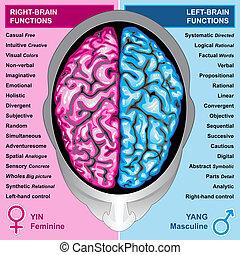 vänster, hjärna, rättighet, mänsklig, funktion