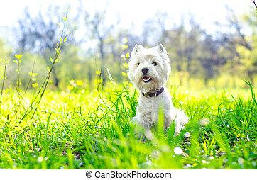 västra högland terrier