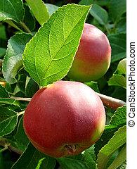 växande, äpplen