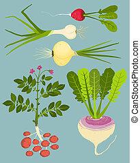 växande, rotfrukter, med, grönt, kollektion