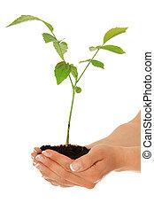 växande, träd, ung