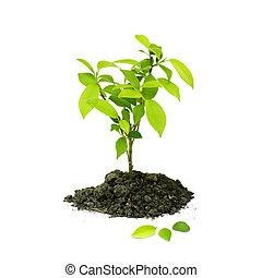 växt, grön, planta