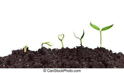 växt, groning, och, tillväxt