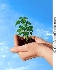 växt, in, hand