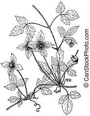 växt, klematis, montana