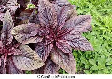 växt, röd, amaranth, medicinsk, valentina., leaves., purpur