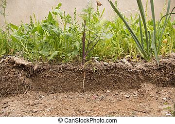växt, snitt, visible., smutsa, växande, tunnelbana, rot