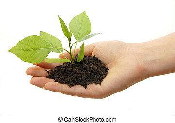 växt, vit fond, hand