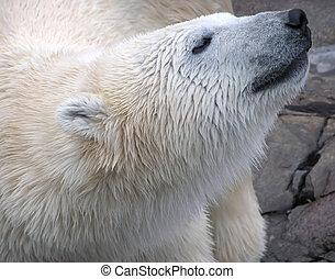 våt, polar björn, närbild, stående