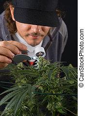 vérification, strain), détail, marijuana, tard, cannabis, (thousand, kola, chênes, étape, fleurir, homme
