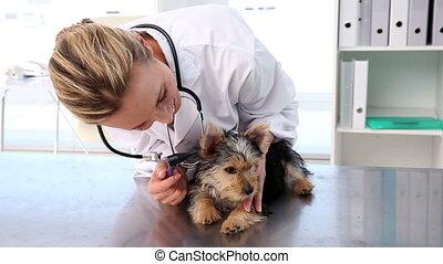 vérification, vétérinaire, terrier, yorkshire