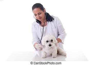vétérinaire, chien, examiner, mignon, stéthoscope, maltais