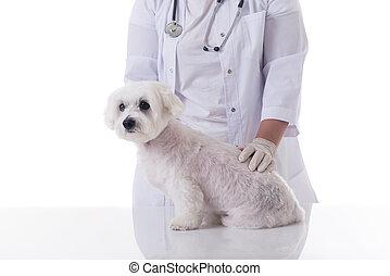 vétérinaire, chien, table, examiner, mignon, isolé, maltais