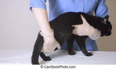 vétérinaire, docteur, vérification, chat, clinique, vétérinaire