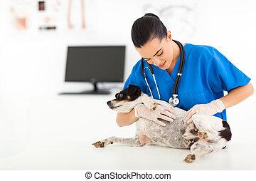 vétérinaire, docteur, vérification, chouchou, chien, peau