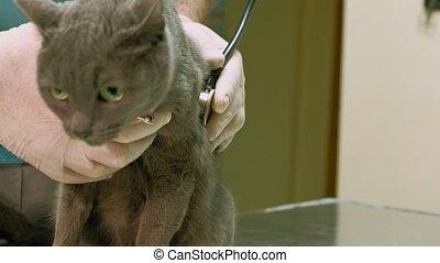 vétérinaire, examine, chat