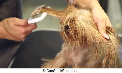 vétérinaire, peignes, dries, yorkshire, cheveux, chien, séchoir, terrier.