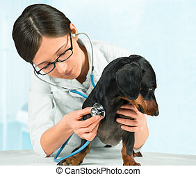 vétérinaire, teckel, écoute