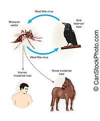 vírus, nyugat, nílus