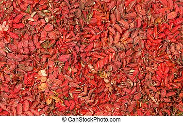 vívido, patrón, hojas, otoño, rosa, salvaje, rojo