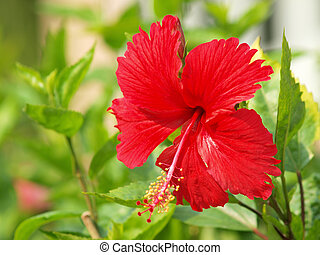 vívido, rojo, hibicus, es, florecer