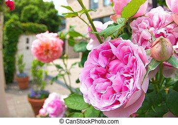 vívido, rosa subió