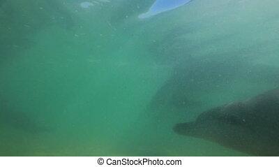 víz alatti, lövés, közül, delfinek, úszás