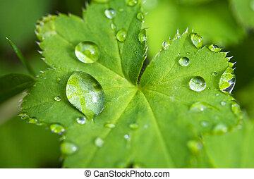 víz, cseppecskék, levél növényen, zöld, friss