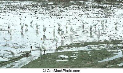 víz, kócsagtollak, amikor, alacsony, állatok, dagály, talál,...
