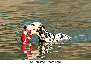 víz, nyár, játékszer, dalmáciai, kutya