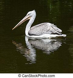 víz, pelikán, dalmáciai, halászat