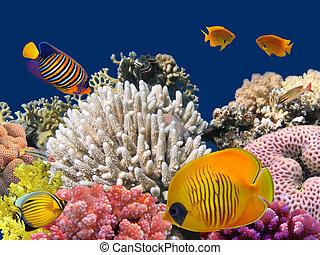 vízalatti élet, közül, egy, hard-coral, zátony, vörös-...