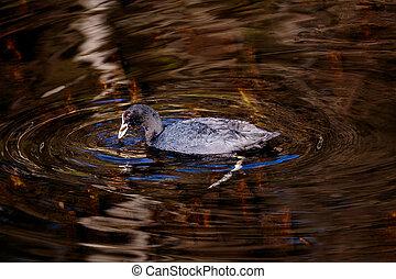 vízi madár, alatt, egy, kacsa, tavacska