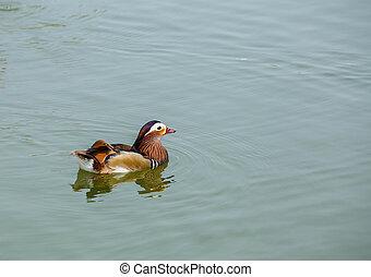 vízi madár, alatt, tavacska