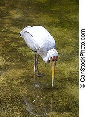 vízi madár