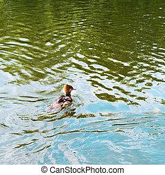 vízi madár, madár, alatt, egy, víz, tavacska