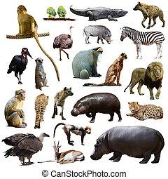 víziló, állhatatos, állatok, Más, afrikai