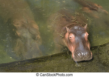 víziló, (hippopotamus, amphibius)