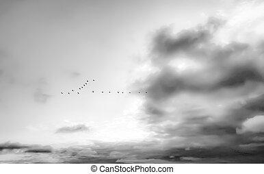 vögel fliegend, in, schwarz weiß