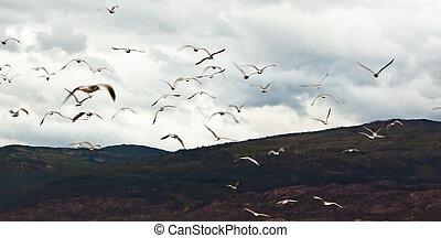 vögel, herde