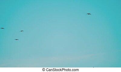 vögel, umkreisen, in, der, himmelsgewölbe, a, herde, von,...