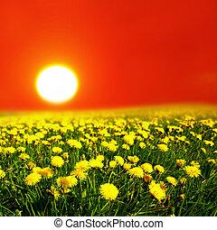 východ slunce, dále, pampeliška, bojiště