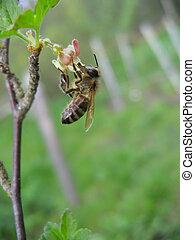 včela, dále, ta, květ
