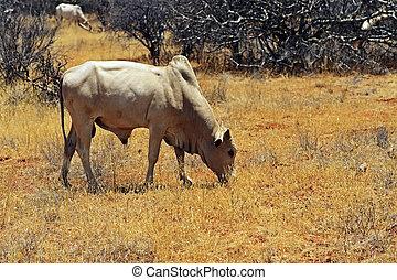 vaca, africano